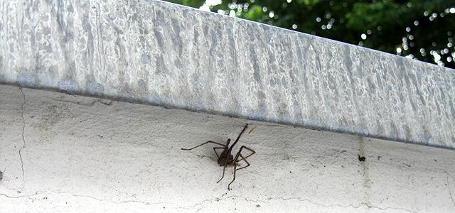 Arachno-Dings